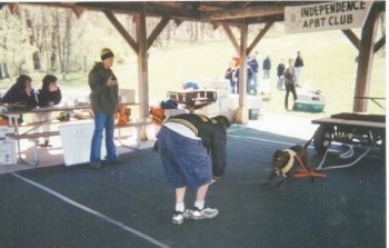 An American Pit Bull Terrier is pulling a cart under a pavilion at a weight pulling contest. There is a person standing in front of it and there is a table of people to the left of it.