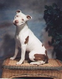 The left side of a white with brown spotted American Pit Bull Terrier that is sitting on a wicker ottoman. Its head is tilted to the right and it is looking forward.