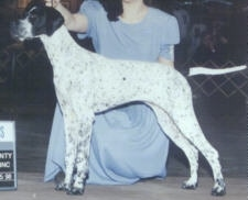 A white with black Pointer is posing at a dog show and it is looking to the left. There is a person in a blue dress behind the dog.