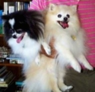 Close up - A black and white Pomeranian is being held next to a tan with white Pomeranian under the arm of a person in a pink shirt.
