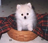 A small fluffy white Pomeranian puppy is sitting in a wicker basket and it is looking forward. There is a red and black plaid napkin behind it.