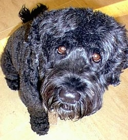 Close up - A shiny-coated black Portuguese Water Dog is sitting on a hardwood floor and it is looking up.