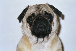 Close up head shot - A tan with black Pug is looking forward with what looks like a frown on its face.