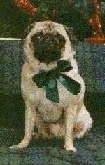 Front view - A black with white Pug is sitting on a couch and it is looking forward. It is wearing a green ribbon.