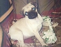 The right side of a tan with black Pug laying on a couch. It is looking forward and its head is tilted to the left. There is a rope toy over its paw.