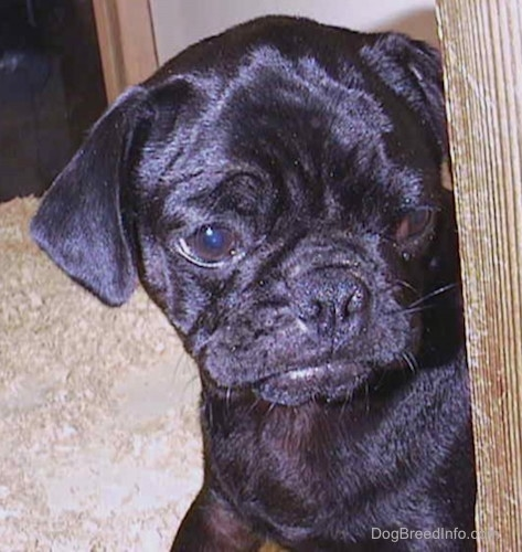 Close up head shot - a shiny black pup puppy with wrinkles on its haed and a frown on its face peering around the corner of a pen. It is looking to the right.