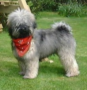 The left side of a grey with black and white Puli that is standing in grass and it is looking forward. It is wearing a red bandana and its fur looks soft.