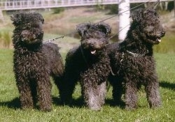Three black Pumi dogs are standing in a row in grass and all of there mouths are open and tongues are out.