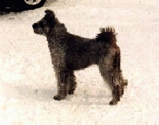 The left side of a black Pumi that is standing in snow and it is looking to the left.