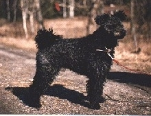 The right side of a black Pumi that is standing across a dirt pathway. It is looking to the right. It has long curly hair on its ears and tail.
