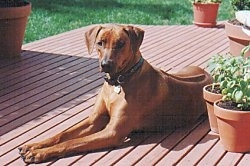 A tall Rhodesian Ridgeback is laying across a red wooden deck in the sun looking forward. To the right of the dog are two potted plants. You can see a dark line down the dog's back.