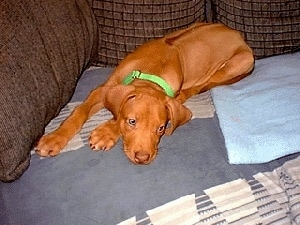 A red Rhodesian Ridgeback Puppy is laying down on a brown couch on top of a blue blanket looking off to the left.