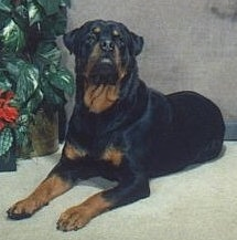 Front side view - A black and tan Rottweiler is laying across a carpet and it is looking up and forward. There is a potted plant to the left of it.
