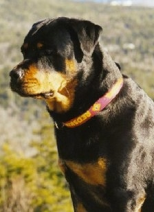 Close up side view - A black and tan Rottweiler is sitting in grass and it is looking to the left.
