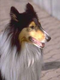 Close Up head shot - A black, tan and white tricolor Rough Collie is sitting on a brick road looking to the right