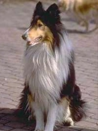 A black, tan and white tricolor Rough Collie is sitting on a brick road and looking to the left. There is another dog walking behind it