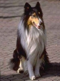 A black, tan and white tricolor Rough Collie is sitting on a brick road