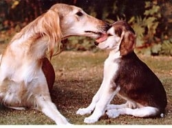 A brown with white Saluki is licking the face of a Saluki puppy that is sitting to the right of it. The dog has a long snout.