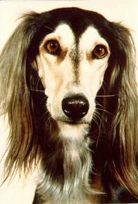 Close up - The face of a black and tan Saluki that is looking forward. It has a long thin muzzle and long drop ears with a lot o long hair on them with shorter hair on its head.