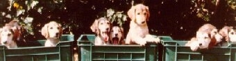 Three green plastic milk crate boxes of Saluki puppies that have three pups in each.