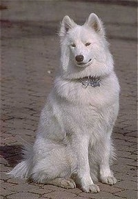 Front view - A white Samoyed is sitting on a brick surface and it is looking forward.