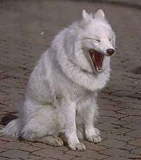 The front right side of a white Samoyed that is sitting on a brick surface. The dog is yawning.