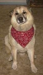 Close up - A tan with white Shepherd Husky is sitting on a carpet wearing a red bandana and it is looking forward.
