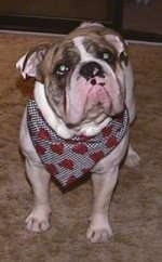 Close up - Spike the Bulldog is standing on a carpet wearing a bandana, its head is tilted to the left and it is looking up.