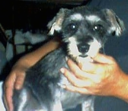 A black with tan Miniature Schnauzer is sitting in the lap of a person who has there hands on its chest and backside.