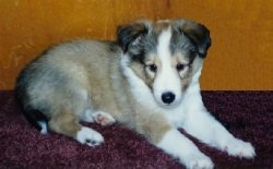 The right side of a young brown with white and black Shetland Sheepdog puppy laying across a carpet, there is a wooden dresser behind it and it is looking down.