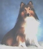 A black, brown and white Shetland Sheepdog is sitting on a carpet and it is looking forward.
