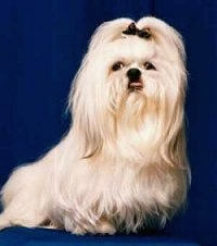 The right side of a long haired tan Shih-Tzu dog sitting across a blue backdrop, it has a black bow in its hair, it is looking forward and its tongue is sticking out of its mouth. The dog has a large underbite.