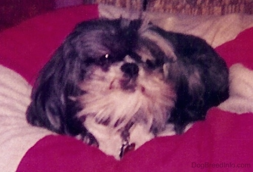 Close up - A black with white Shih-Tzu is laying in a circle on top of a peppermint striped pillow.