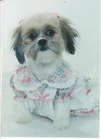 Close up front view - A shaved white with tan and black Shih-Tzu is sitting on a white backdrop, it has two pink ribbons above each ear, it is wearing a dress, it is looking forward and its head is tilted to the left.