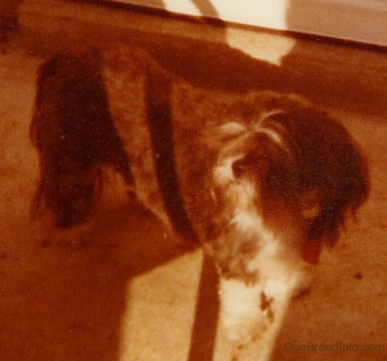 The left side of a brown with white Shih-Tzu that is standing on an outside patio looking to the left.