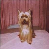 Front view - A longhaired, black and tan Silky Terrier dog is sitting on a table and it is looking forward. The dog has perk ears.
