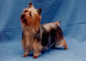The front left side of a black and tan Silky Terrier that is standing on a blue backdrop, it is looking up and to the left.