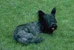 The back right side of a freshly groomed black Skye Terrier. It is looking to the right, its mouth is open and its tongue is sticking out. It has long hair hanging from its perk ears.