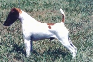 Side view - a Smooth Fox Terrier dog standing in a show stack in grass with its tail up in the air.