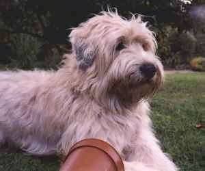 Close up - The right side of a tan with black Soft Coated Wheaten Terrier is laying across a field, it is looking to the right and there is a potted plant in front of it. It has long, thick wavy hair with longer hair on its muzzle and a back nose.