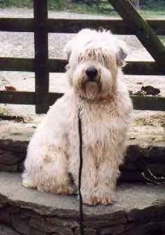 The right side of a longhaired, wavy, tan Soft Coated Wheaten Terrier dog that is sitting on a stone step and it is looking forward. It has a big black nose.