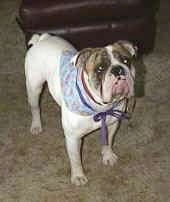 Close up - The front right side of Spike the Bulldog who is standing on a carpet, he is wearing a blue bandana, he is looking up and to the right.