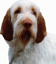 Close up head shot - A white with brown Spinone Italiano is looking forward. There is a white composite layer behind it.