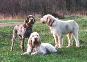 Three Spinone Italianos are standing and laying in a field. The dogs look wiry.