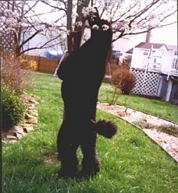 A black Standard Poodle dog jumped up against a small tree biting a flower bud.