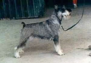Right Profile - A black, grey and white Standard Schnauzer dog standing across a concrete surface looking up and to the right.