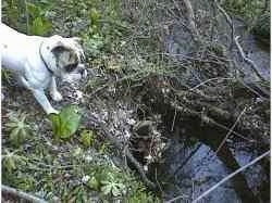 Spike the Bulldog is standing on a steep bank looking down at a stream.