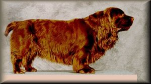 Right Profile - A short-legged, brown Sussex Spaniel dog standing on top of a platform in front of a grey backdrop. The dog has long fringe hair on its ears and underbelly and a short tail.