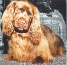 Close up front view - A low to the ground, brown Sussex Spaniel dog sitting on a carpet, it is looking down and its head is slightly tilted to the right. It has long soft thick fur on its ears.