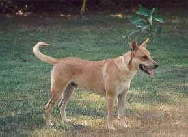 A Carolina Dog is standing in grass in front of one plant with its mouth open and tongue out